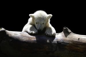 polar-bear-1294563_1920