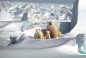 polar-bear-1509103_1280