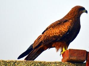 black-kite-2801406_1280
