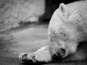 polar-bear-173133_640